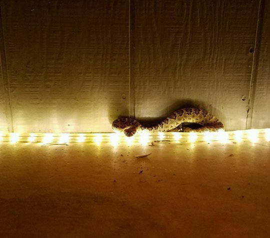 Be Mindful Of Rattlesnakes While Digging Out Christmas