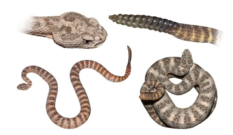 Commonly Seen Snakes Of Arizona Phoenix Scottsdale And Surrounding Areas Rattlesnake Solutions Llc