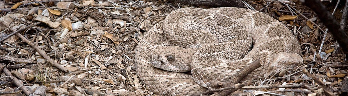 diamondback rattlesnake relocated in phoenix