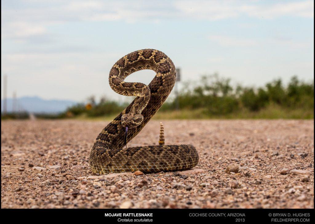 The Reality Of The Dreaded Mojave Rattlesnake Rattlesnake Solutions