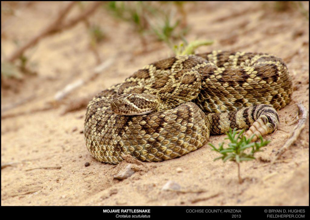 The Reality of the dreaded Mojave Rattlesnake - Rattlesnake Solutions