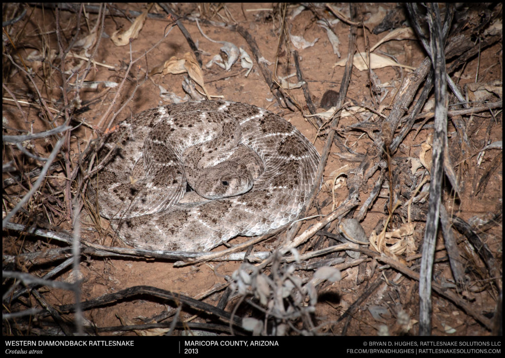 Are Rattlesnakes Evolving To Rattle Less Or Losing Their Rattles Rattlesnake Solutions,Types Of Cacti With Pictures