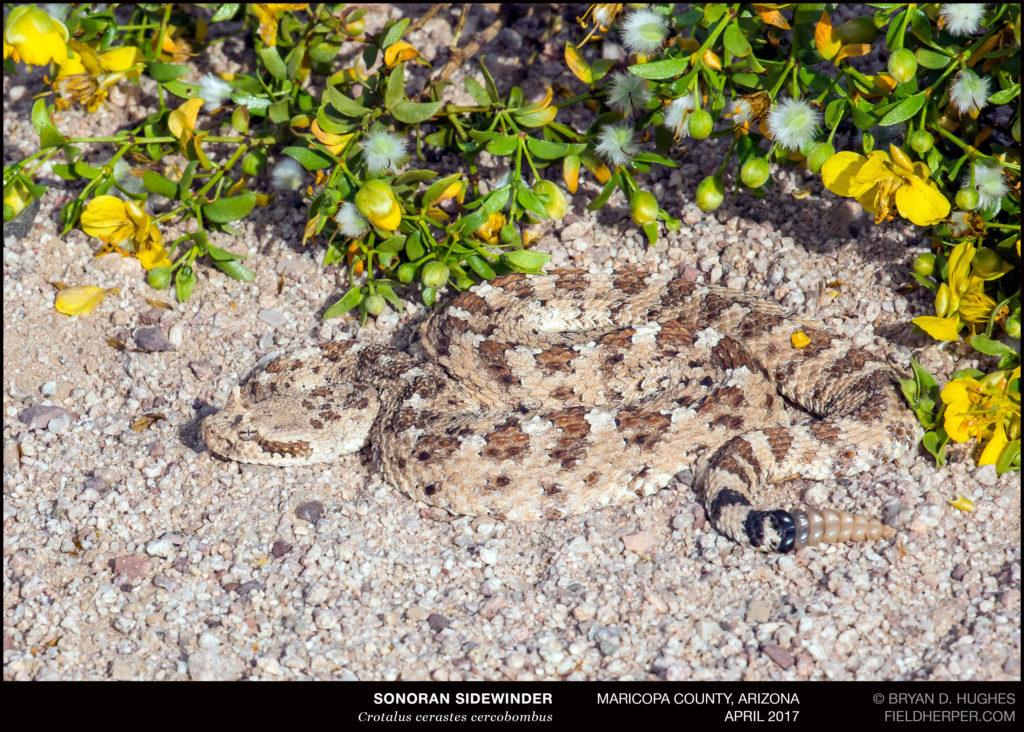Sidewinder rattlesnake in flowers