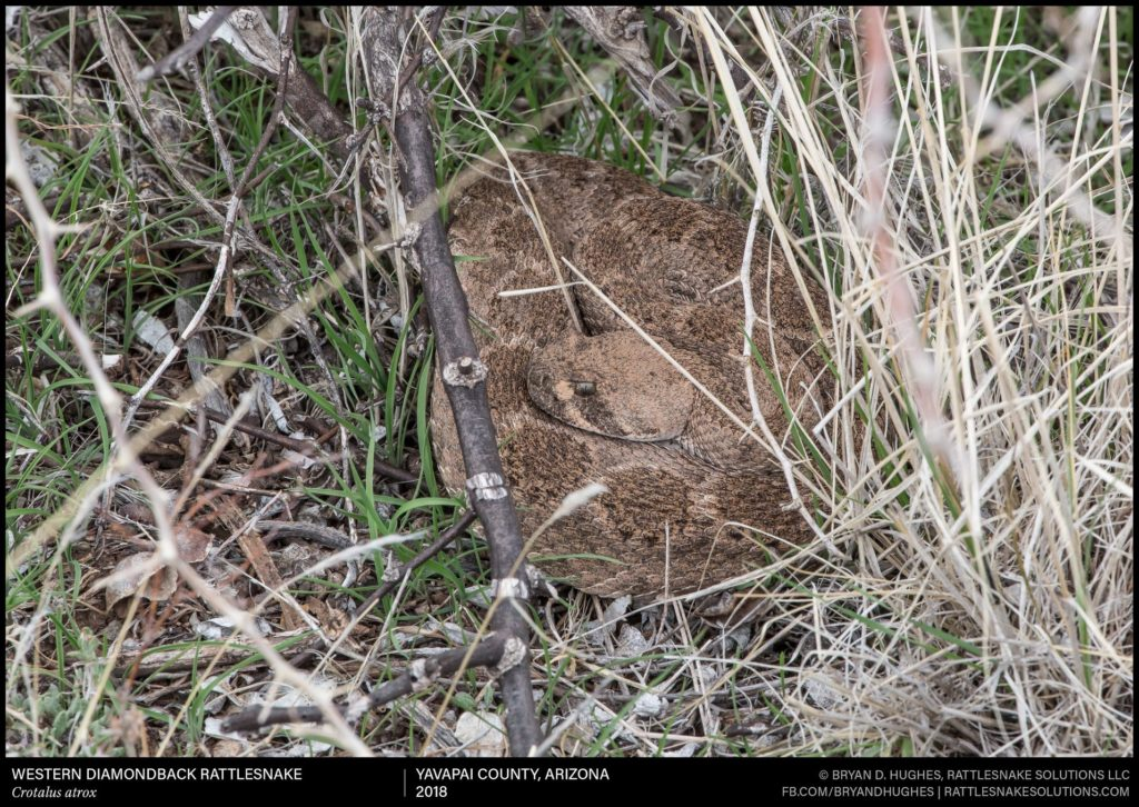 Western diamondback rattlesnake hiding in grass
